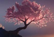 Cherry Blossoms / Such a beautiful flower.