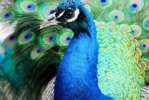 Peacock / Beautiful Birds...