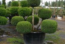 Ornamental Landscape Plants  / Sample of some Ornamental Landscape Plants.