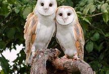 Corujas ( Owls )
