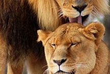 Wildlife Big Cats / The big cats are in serious danger from hunting and poaching and deserve our protection and respect.