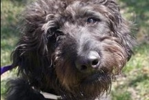 Adoptable Dogs in Howard County / Dogs for adoption at shelters and rescues in Howard County. For an updated current list, go to the Adoptable Dogs page on the CDOG website: http://goo.gl/zfxUJ