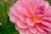 Flower Camellias / by Apple Ple