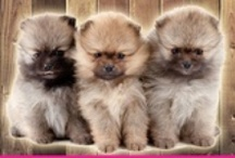 Pomeranian/Dwergkees / Show handler and sometime my puppy's by Poms Residence in the Netherlands.