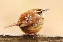 ~ Wrens~ / Busy,  little noise makers
