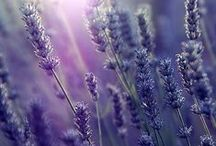 A Lavender Moment / Appreciating the beauty that is Lavender.
