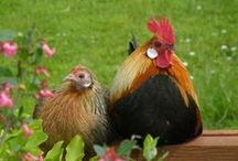 Hens & roosters / Coqs & poules / by Jean-Daniel CHRISTIN