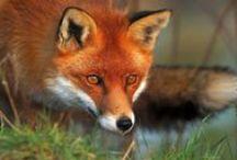 "Red fox / ""One only understands the things that one tames,"" said the fox. ""Men have no more time to understand anything. They buy things all ready made at the shops. But there is no shop anywhere where one can buy friendship, and so men have no friends any more. If you want a friend, tame me . . .""  ― Antoine de Saint-Exupéry, Le Petit Prince / by Jean-Daniel CHRISTIN"