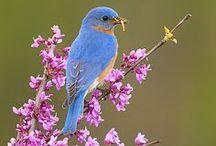 BIRDS - Bluebirds / Eastern Bluebird (Sialia sialis) , Western Bluebird (Sialia mexicana) & Mountain Bluebird (Sialia currucoides) / by Jean-Daniel CHRISTIN