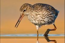 BIRDS - Waders  / by Jean-Daniel CHRISTIN