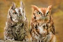 BIRDS - Screech owls / Screech owls or Screech-owls are typical owls (Strigidae) belonging to the genus Megascops. Twenty-one living species are known at present, but new ones are frequently recognized and unknown ones are still being discovered on a regular basis / by Jean-Daniel CHRISTIN