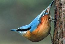Nuthatches & treecreepers / by Jean-Daniel CHRISTIN