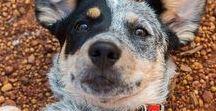Australian Cattle Dogs / Adorable Australian cattle dogs