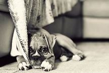 <3 boxer / Boxers are the most amazing breed. / by Julija Lubgane