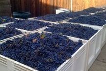 Harvest / A collection of photographs taken from our harvests - we grow all of our varietals onsite :)