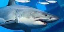 Žraloci - Sharks / - fotky různých druhů žraloků a vše, co se jich týká