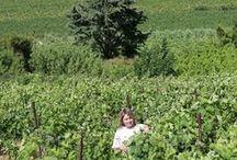 PAYSAGES VITICOLES / A ce jour, le domaine Mas Farchat comprend 16 hectares de vignes dont 11 hectares en AOP Languedoc, 4 hectares en vin de pays d'oc,  et 1 hectare en Languedoc Pézenas. Il se situe à Gabian (34320)