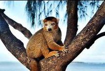 lemuriens / les lémuriens de Madagascar.