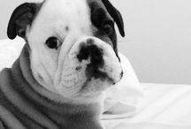 Flynn the English Bulldog