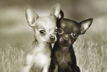 Chihuahua / by Zack458