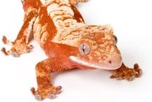 C.ciliatus (Crested gecko)
