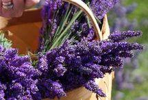 8 Lavender / Flower