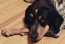 My Bluetick coonhound / Pictures of my Bluetick coonhound  Dr. Gibson