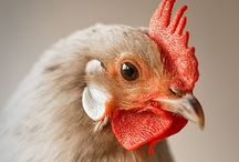 THE COOP / HENS & ROOSTERS / by Judy Brizido