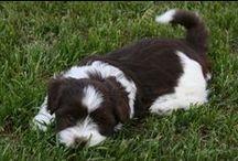 Puppy love...My Bo...Havanese ROCKSTAR..