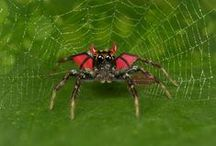 Jumping spiders in costumes / Jumping spiders and its costumes for celebrations!