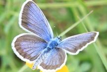 Butterflies / by Public Domain Photos