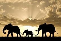 Elephants (= / by Caroline Grace