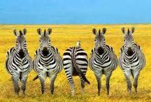 Zebra / by Janet Oculi