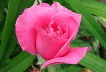 Trandafiri / Trandafiri