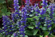 Medicine Plants / Find out what herbs can cure almost any ailment. We will give you up to date information on all types of perennial herb plants.