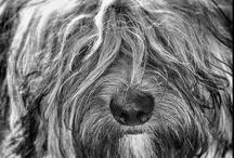Tashi, my Tibetan Terrier