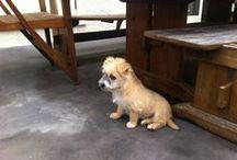 Fo-Tzu, Fox Terrier crossed with Shih Tzu