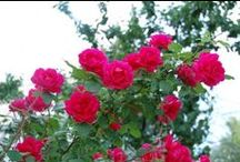 Flowers: Roses / New roses, old roses, rose history, growing tips, propagation - everything's coming up roses! Anytime you have a problem or question, just come to http://questions.gardeningknowhow.com/