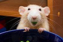 RATS / pictures & memes