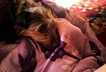 ♥♥♥Just for Jax♥♥♥ / Things that I like for my Snorkie, Jax; a Schnauzer-Yorkie Terrier Mix. / by •ஐღ•ℳєℓiʂʂα кєℓℓєy•ஐღ•