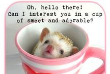Hedgehog Memes, Funnies, Quotes and Misc... @ Millermeade Farm's Critter Connection / #funny #hedgehog #hedgie #lol #millermeade #breeder #quills #cute #jokes #quotes #humor #laughs #meme #adorable #love