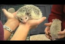 Hedgehog videos / by Millermeade Farm's Critter Connection