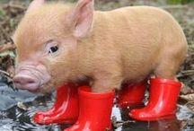 pigs / pigs