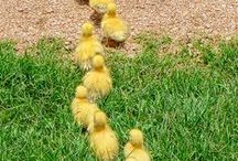 Ducks I love.. / Ducks to make you smile or walk a mile