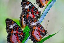 42. Vlinders / Fladderaars