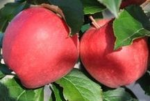 An Apple a Day... / All things apples! This board is your one stop shop for care info, nifty idea's of things to do with your apples and general apple info. Send someone you love an apple tree. Its a gift that keeps on giving.