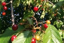Cherry on Top / Mid-summer is cherry picking season. We are celebrating all things cherry, and encourage you to do the same!