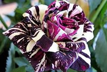 Purple Leaves ❀ / Our ultimate selection of Purple flowers!