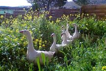 Birds Wild birds goose.. / Goose...geese....Χηνες