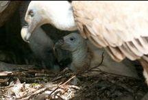 La Riserva del Lago Naturale di Cornino / La Riserva del lago naturale è stata istituita nel 1996 dalla Regione Friuli Venezia Giulia e prende il nome dal piccolo lago di Cornino. Nell'area protetta è stato reitrodotto con successo il Grifone, l'avvoltoio delle Alpi, che ora qui nidifica e si riproduce. Nella zona si possono osservare altre specie animali come il Gufo reale, il Gipeto, il Capovaccaio, l'avvoltoio monaco, l'allocco degli Urali.Alcune in libertà altre presso il centro visite. www.riservacornino.it